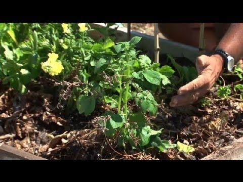 , title : 'How to Care for Potato Plants : Potato Planting