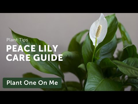 , title : 'Ultimate SPATHIPHYLLUM (Peace Lily) CARE Guide — Ep 205