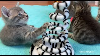 5-week-old Foster Kittens
