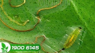 Trồng trọt | Cách phòng trừ sâu vẽ bùa gây hại cây cam