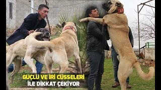 Güçlü ve iri cüsseli 'guregh' köpekleri, otomobil fiyatına satılıyor