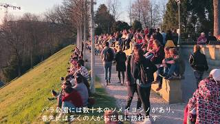スイスでお花見!ベルンの絶景・ソメイヨシノ鑑賞スポット、バラ公園【スイス情報.com】