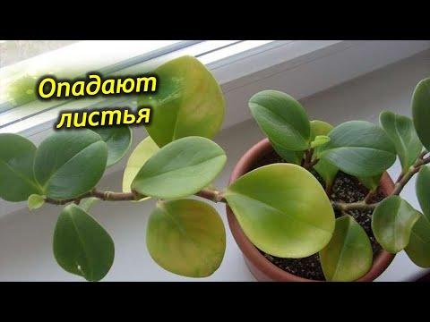 Почему у пеперомии опадают листья?