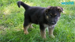 5 Training Tips For German Shepherd Puppies