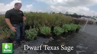 Texas Sage Dwarf - Archer Services