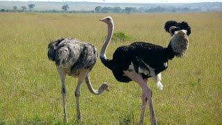 13 Ostrich Facts