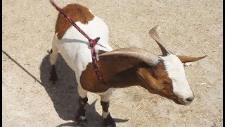 الرحال ,اجمل الحيوانات فيديو عن الماعز الشامي والماعز السوري والماعز القطري في السوق