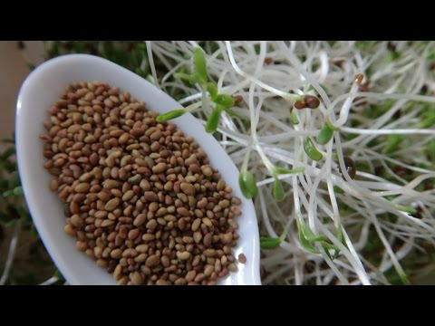How To Grow Alfalfa Sprouts - Cheap Easy Method