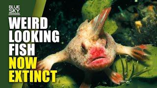 Science: Smooth Handfish Now Extinct | Blue Sky Knowledge
