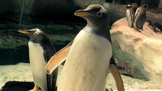 Cómo viven los pingüinos | Vlog de Guiainfantil visita a un pingüinario