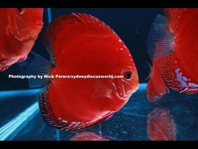 [HD] German Solid Red Discus at Sydney Discus World Aquariums