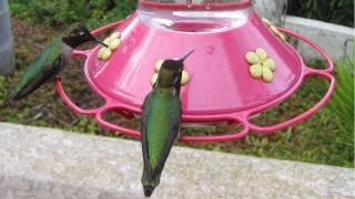 Hundreds of Hummingbirds at Bird Feeder! (in HD)
