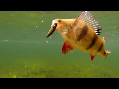 Fishing: best lures for perch, pike, bass, muskie. Underwater cam. Рыбалка: ловля окуня на воблер.