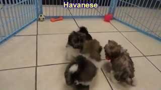 Havanese, Puppies, Dogs, For Sale, In Little Rock, Arkansas, AR, 19Breeders, Fayetteville, Jonesboro
