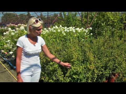 Живые изгороди: Смородина альпийская «Шмидт» (Ribes alpinum 'Schmidt')