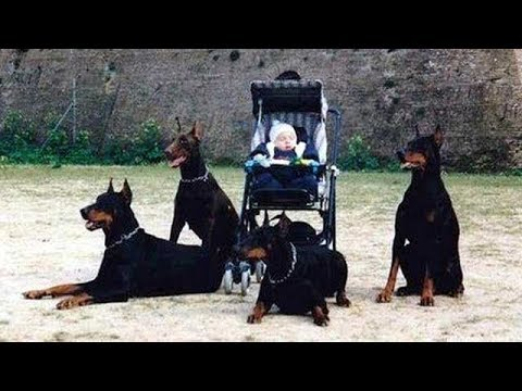 Doberman Dog Protects Babies and Kids Compilation ★ Ultimate Protection Dogs
