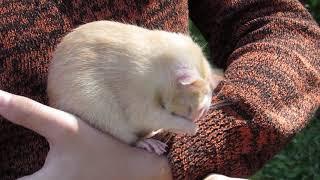 Крыса умывается 27.08.17