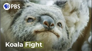 Male Koalas Battle Over A Female