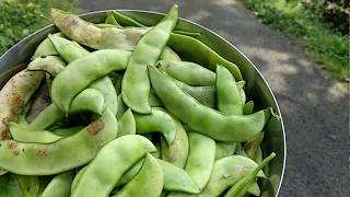 Harvesting Lima Beans From Two Year Old Plant..!