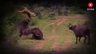 狮子追杀野牛,结果不料直接被野牛开肠破肚,当场惨死!