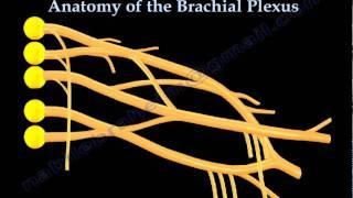 Axilla - Brachial Plexus