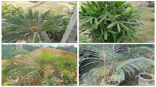 Different type of palm plants (Hindi)