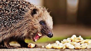 Funny Hedgehog Compilation 😅 [Funny Pets]