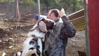 animale faze comice capre