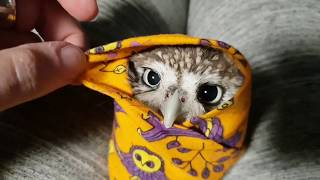 Angry biting owl-burrito. Little owl Unya in a wrap.