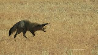 Bat-eared fox foraging