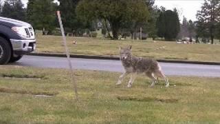 Coyote Circles Cameraman : Attack Strategy