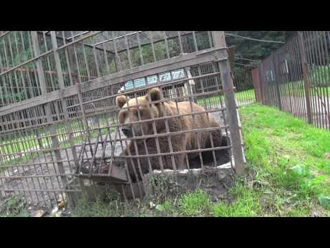 Медведь на трассе в Чувашии.