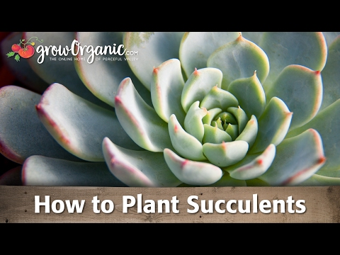 Πως να φυτέψετε παχύφυτα