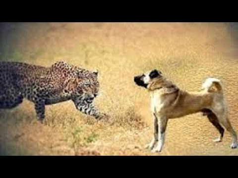 Kangal Dogs Vs Leopard | Dogs Vs Bear!!!