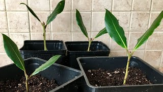 How To Propagate Bay Leaf From Cuttings | Laurus Nobilis