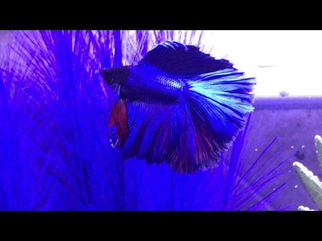 Betta Fish Swimming in new Fluval fish tank