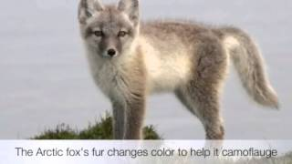 Endangered species project The Arctic Fox