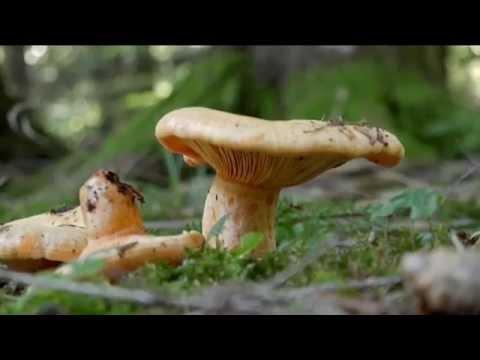 Che piacere un fungo pakhovy a uomini