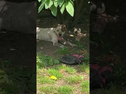 Summer, an adoptable Australian Cattle Dog / Blue Heeler Mix in Wilmington, DE_image-1