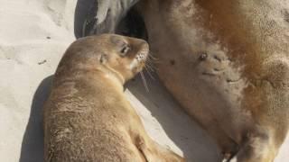 A line in the sand - The Australian Sea Lion along the South Australian coastline