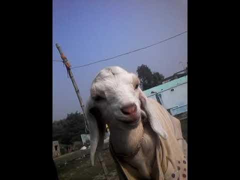 Aditya Aur bakri ka bacha - смотреть онлайн на Hah Life