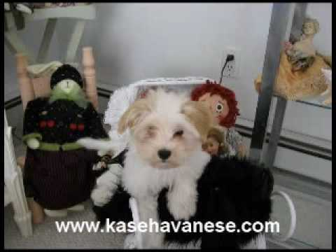 Kase Havanese Quality Havanese Puppies In Charlotte North Carolina