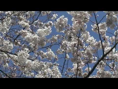 KAMPAI Itsuki Hiroshi- sakura.mpg
