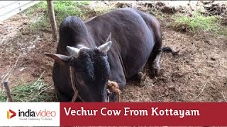 Vechur Cow - an indigenous cow breed of Kerala