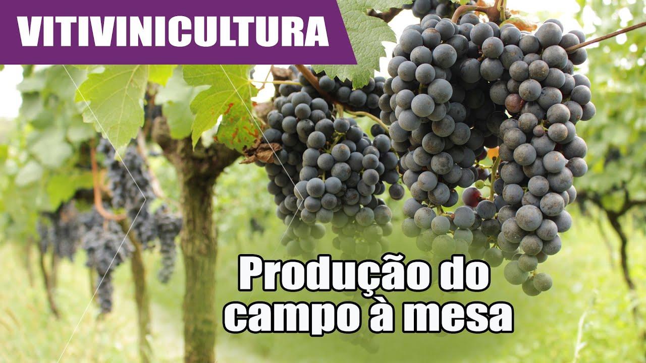 Conheça o roteiro da uva até virar vinho e espumante