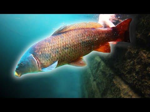 Carl imod Alex - karpefiskeri i klarvandet kanal