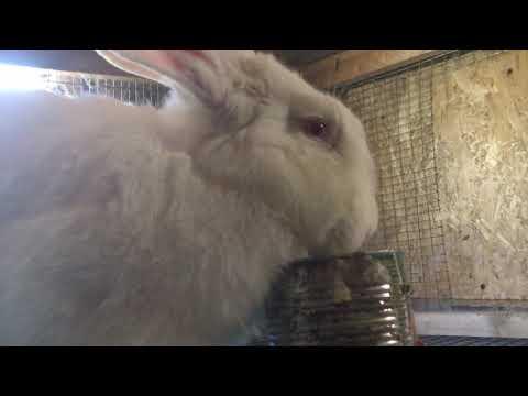 Кормим кроликов,какие Ризены ласкушки.