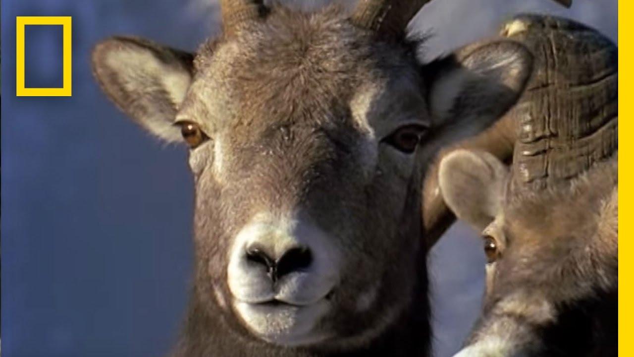 Ram Rumble   Animal Winter Games thumbnail