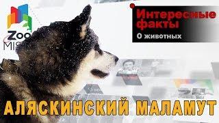 Аляскинский маламут - Интересные факты о породе  | Собака породы Аляскинский маламут