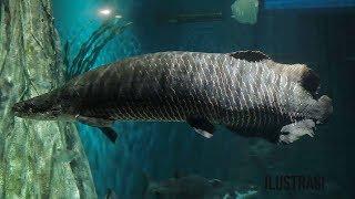 Ikan Predator dari Sungai Amazon Masuk ke Indonesia, 78 Ekor Dimusnahkan karena Dianggap Berbahaya